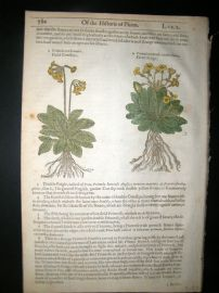 Gerards Herbal 1633 Hand Col Botanical Print. Field Cowslips, Oxlips, Mullein